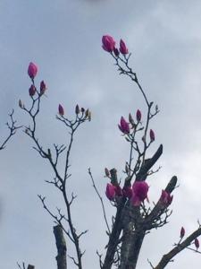 Magnolias et ciel humide (c) cdo